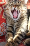 Cat Yawn